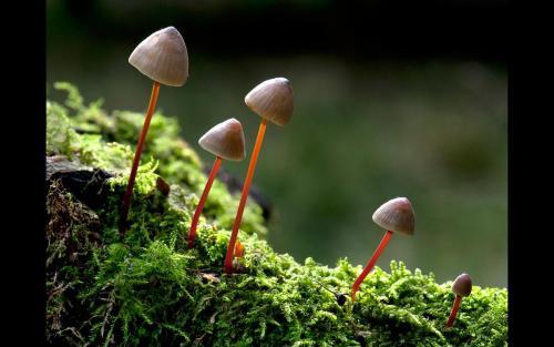 Fungi  Family  Mycena