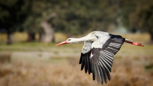 Gary-Dean_White-Stork-in-Dehesa-Woodland