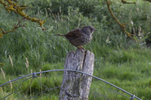 Graham Shirra_Dunnock