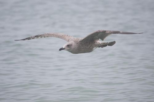 Graham Shirra_Juvenile gull in flight