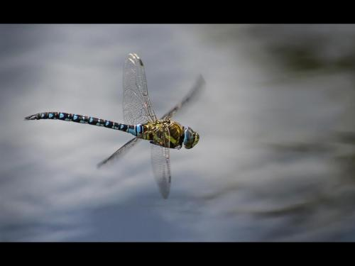 Blue Hawker at Welney