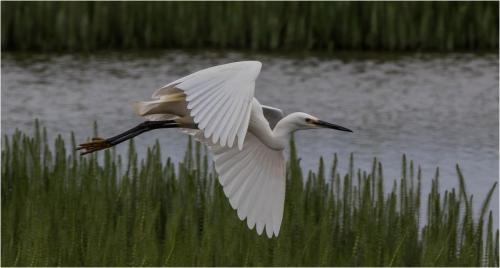 Ise Berridge_Egret in Flight
