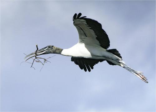 Ivan Barrett_Wood Stork