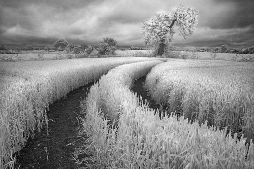 Infrared Wheat Field