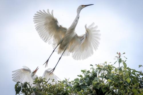 Dimorphic Egret leaves its nest
