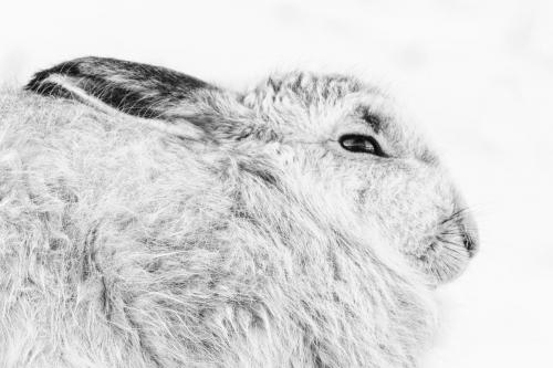 Mountain hare - Tim Norman#
