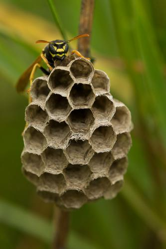 Natural History_Alice Kendrick_Female Paper Wasp making her nest