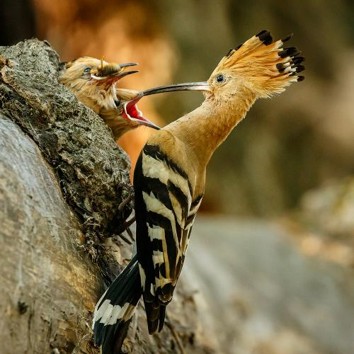 Natural-History_Gary-Dean_Hoopoe-Feeing-Its-Young