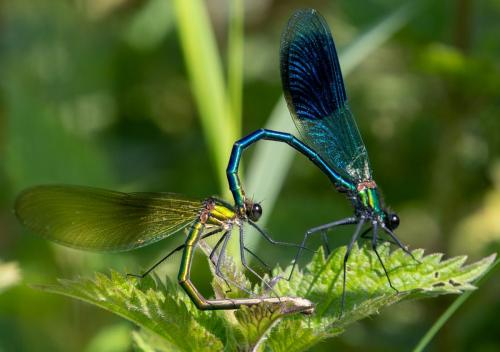 Natural History_Graham Crossley_Mating Jewel Wing Damselfly's