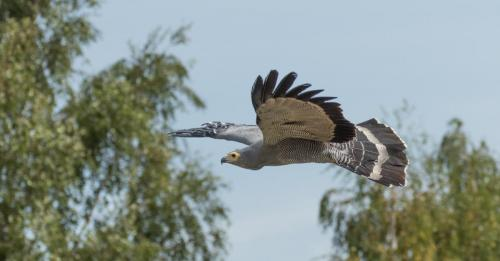 Natural History_Ian Montgomery_African Harrier Hawk in flight