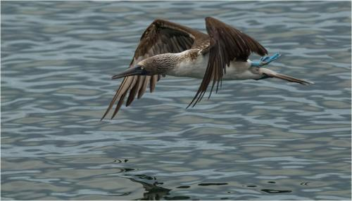 Natural History_Ise Berridge_Blue Footed Booby - Nat Hist