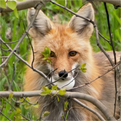 Natural-History_Ivan-Barrett_Mountain-Red-Fox-with-Stolen-Goose-Egg