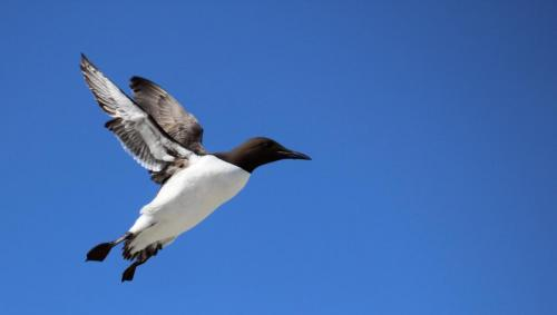 Natural History_Marc Human_Guillemot in Flight