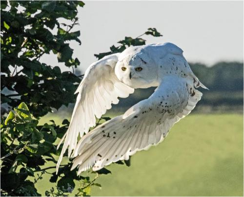 Natural History_Richard Berridge_Snowy Owl-Nat Hist