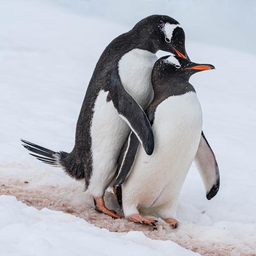 Natural History_Steve Laws_Friendly Gentoo Penguins