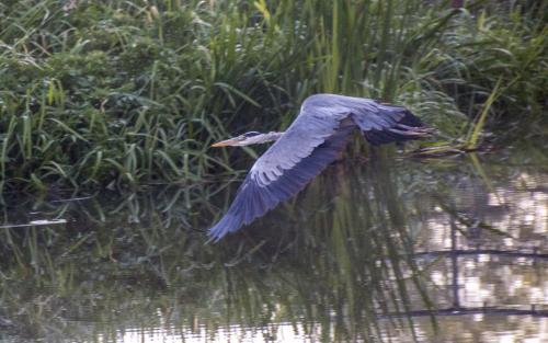Nicky Cope_Heron in Flight
