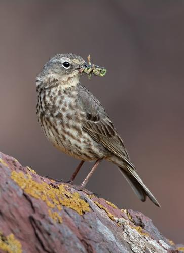 Rock Pipit with Prey