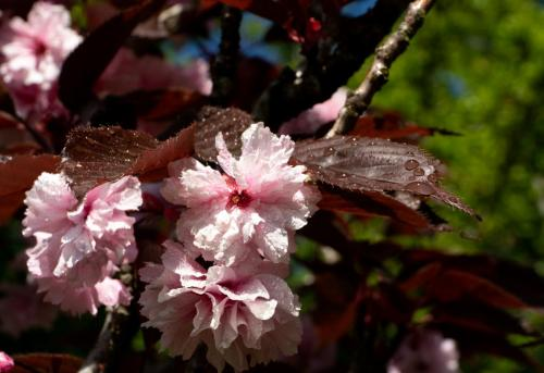 Paul Dobson_Cherry Blossom