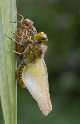 Broad Bodied Chaser on Exuvia
