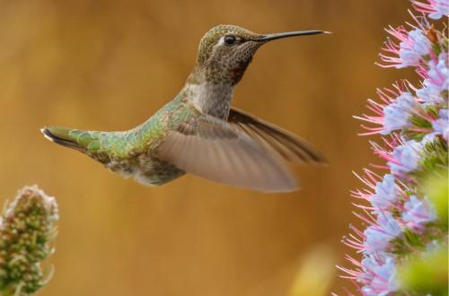 Female Anna's Hummingbird Feeding