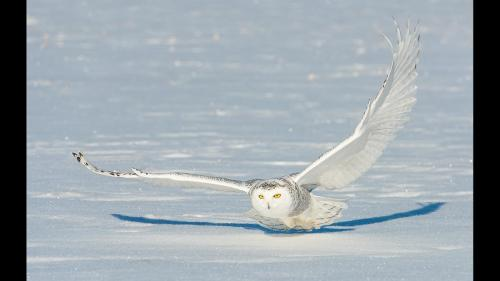 Swooping Snowy Owl