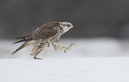 Snow strut