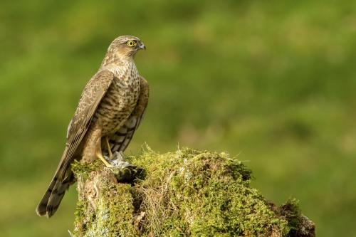Sparrowhawk with siskin