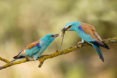 St-Ives_European-Roller-Courtship