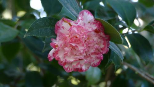 Stan Mace_Camellia