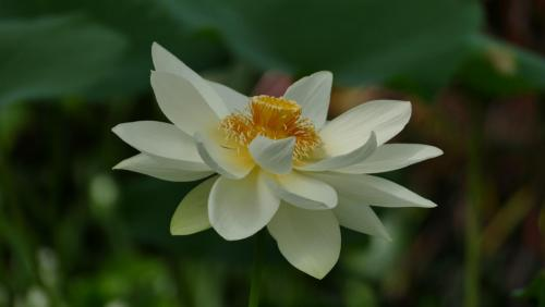 Stan Mace_Water lily
