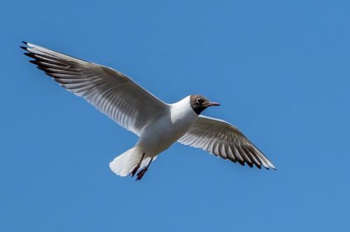 Steve Laws_Black Headed Gull