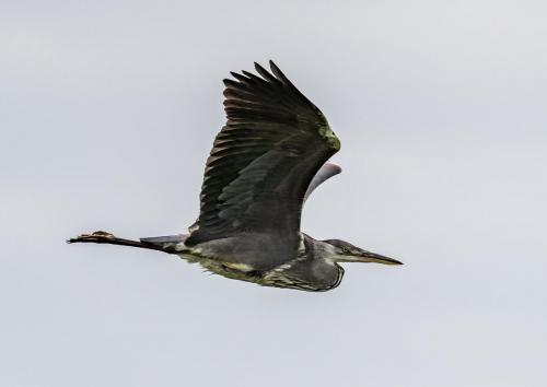 Steve Laws_Grey Heron