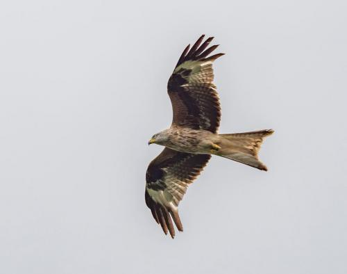 Steve Laws_Red Kite