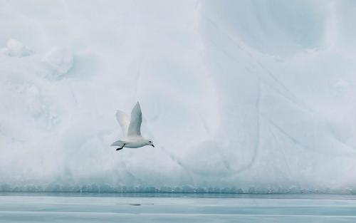 Steve Laws_Snow Petrel at Flanders Bay