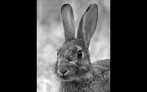 Long Eared Rabbit
