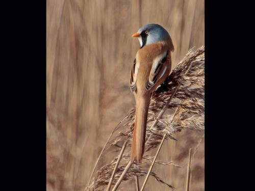 Bearded Reedling at Titchwell Reserve