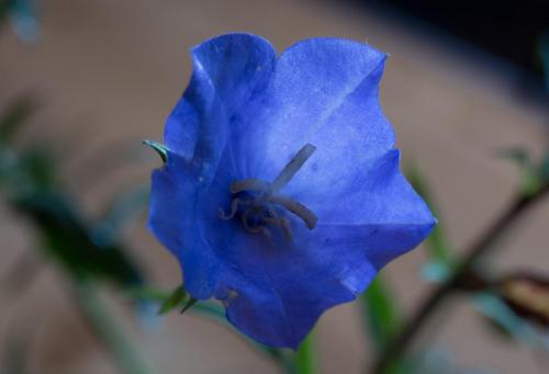Tony Cole_Blue Flower