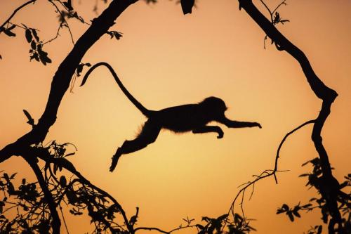 Vervet Monkey at Dawn