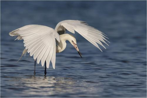 White Morph Reddish Egret Fishing