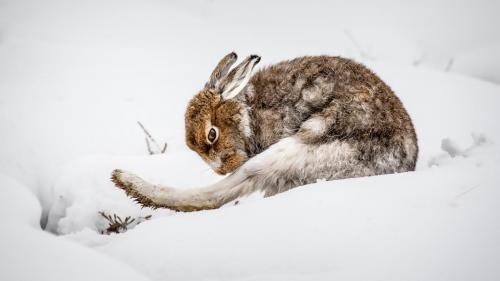 Mountain Hare Grooming